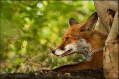 Spätsommerliche Fuchsbegegnung