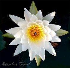 Flor blanca del popular nenúfar, género Nymphaea