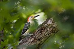Wild Birds - Red-bellied Woodpecker by Christina Rollo