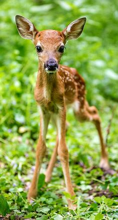Newborn Fawns are all legs. They spend most of their first days bedded down. - by Justin Rogers of Rogers Photography