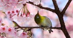 Até os pássaros apreciam as cerejeiras em Tóquio.
