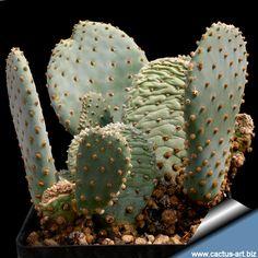 Opuntia basilaris Opuntia Basilaris, Opuntia Cactus, Prickly Pear Cactus, Succulent Bonsai, Cacti And Succulents, Planting Succulents, Cactus Plants, Cactus Seeds, Bubble Envelopes