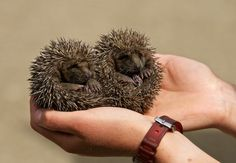 {brother + sister hoglets} wee baby hedgehogs!