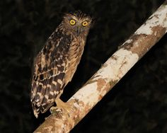 Buffy Fish Owl - Strigidae Bubo ketupu  Along Kinabatangan River near Sukau lodge Borneo