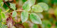 Αντιμετωπίστε το ωίδιο της τριανταφυλλιάς Exterior, Fruit, Garden, Flowers, The Fruit, Lawn And Garden, Florals, Gardens, Outdoor