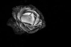 """ph. © Uwe Mochel """" La rose....A rose is a rose is a rose is a rose """""""
