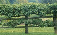 Love these apple trees used as a fence around a potager.
