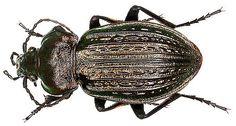 Family: Carabidae Size: 22-34 mm Origin: Europe Location: Germany, Bavaria, Lower Franconia, Eltmann leg. det. U.Schmidt, 1983 Photo: U.Schmidt, 2005