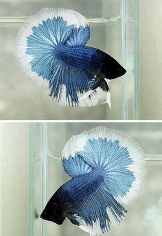 Blue metallic white