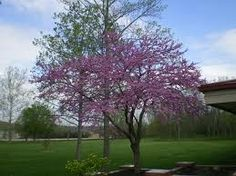 Botanical Name: Cercis canadensis  Common Name: Redbud