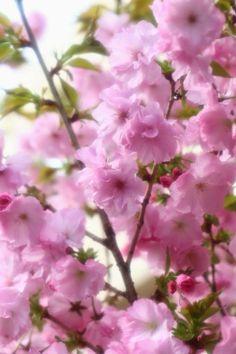 ♥♥ PINK for the Princess' dark, LUXURIANT hair! ♥♥ Jindai Botanical Gardens, Tokyo Japan
