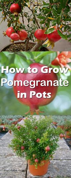 Learn how to grow pomegranate tree in pot. If you've grown citrus in pot, growing pomegranates in containers can not be difficult