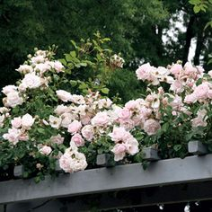 Our best quality climbing roses. Climbers have larger flowers, similar to other garden roses and with the ability to repeat bloom. New Dawn Climbing Rose, Climbing Roses, Yellow Roses, Pink Roses, Rose Jackson, Planting Roses, Single Rose, Garden Structures, Clematis