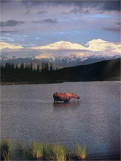 "Elchkuh vor dem Denali. Aus ""Alaska-Fieber""."