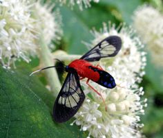 scarlet-bodied wasp moth on rice paper plant- ww.scientable.com