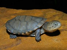 West African Side Necked Turtle - Google Search