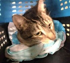 CHRISTMAS – A1107957 - 7yrs  NEUTERED MALE, GRAY TABBY, DSH - INJURY - 7 YRS OLD WITH MINOR INJURY - NEEDS RESCUE ASAP!