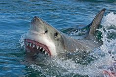 Great white sharks can be ferocious predators, but one of these giant fish overestimated its hunting abilities when it crunched down on a sea turtle and then choked to death, according to a tuna fisherman near Japan who described the incident. Giant Fish, Big Fish, Megalodon, Save The Sharks, Shark Swimming, The Great White, Stock Image, Surfer, Shark Week
