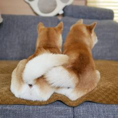 Shiba Inu, Japanese Dog Breeds, Japanese Dogs, Puppy Pictures, Funny Animal Pictures, Cute Puppies, Cute Dogs, Animals And Pets, Cute Animals