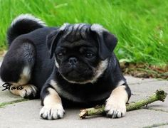 """Obtain excellent tips on """"black pugs"""". They are readily available for you on our website. Black Pug Puppies, Cute Puppies, Pet Dogs, Pets, Doggies, Pugs And Kisses, Baby Pugs, Pug Love, Cute Creatures"""