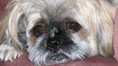 The thought of our Shih Tzussilently suffering from a easily preventable diseaseis absolutely heartbreaking. Yet studies show that as many as 85% of dogs over the age of 3 years old are suffering from a disease that is notonly extremely …