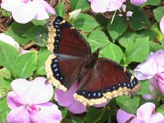 Morning Cloak Butterfly / HOW TO ATTRACT ME TO YOUR HABITAT: Plant Common Hackberry Tree or Desert Willow Tree (Chilopsis Spp), plant Gas Plant, Leopard Lily or Shasta Daisy.