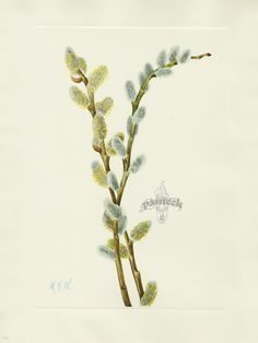 "Antique prints of ""Pussy Willow"" from Walcott North American Wild Flowers 1925"