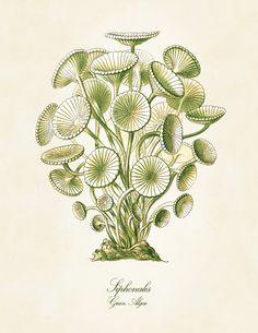vintage natural history illustration   Vintage Natural History Art Print: Ernst Haeckel Green Algae ...