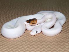 Piebald and Leucistic Ball Pythons... my fave ;)