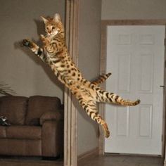Savannah kittens for Sale! All of our savannah cats and kittens available are shown on this page. This page is updated daily so check back often! Le Savannah, Savannah Cat Price, Savannah Kittens For Sale, Kitten For Sale, Cats For Sale, Kittens Cutest, Cats And Kittens, Cats Bus, African Wild Cat