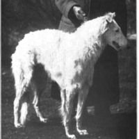 1907 Borzoi Rasboi O'Valley Farm'. From an issue of 'Dogdom Monthly