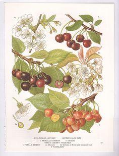 Imprimir frutas cerezas comestibles plantas cocina vintage decoración pared arte…