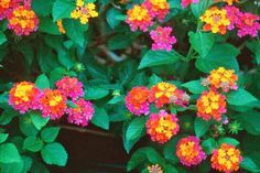 Lantana pictured here. 10 Great backyard plants and shrubs that you can use to design your boring desert yard into a beautiful, exciting and sustainable desert landscape. Low Maintenance Landscaping, Low Maintenance Plants, Backyard Plants, Backyard Landscaping, Desert Backyard, Luxury Landscaping, Lantana Plant, Lantana Flower, Perennial Plant