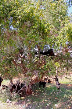 IMG_3696 -    Goats in Trees...