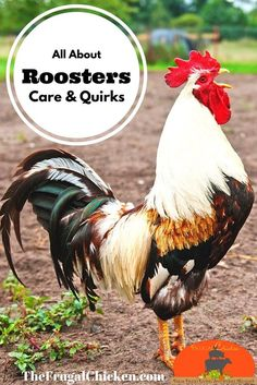 Roosters have a bad rep but most are good guys that love the ladies. Here's info about adding one to your flock and dealing with any negative behavior. Raising Backyard Chickens, Backyard Poultry, Keeping Chickens, Backyard Farming, Chicken Life, Chicken Humor, Chickens And Roosters, Pet Chickens, Rooster Breeds