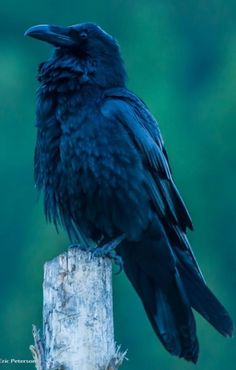 Raven Facts, Animal Dictionary, Raven Pictures, Raven Bird, Crow Art, Crows Ravens, Bird Sculpture, Wildlife Art, Ravenna