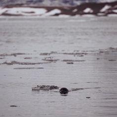 Ein Seehund in der Gletscher Lagune Jökulsárlón.  Die Tiere schwimmen in ihren Verbänden zwischen den Eisschollen herum und fühlen sich in der Lagune sichtlich wohl.  #Savoteur #99instagramers #mystopover #nikon #Jökulsárlón #jokulsarlon #glacierlagoon #seal #iceland #icelagoon @marn_bo by 99igers