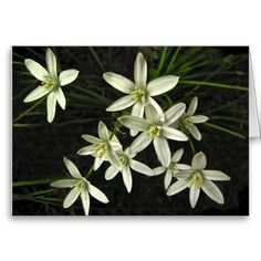 Star of Bethlehem Birthday Card ~   This fine art photography birthday card features the lovely spring perennial garden plant known as Star of Bethlehem (Ornithogalum umbellatum). Each flower has six white petals and a yellow center. They are set on a dark, almost black background. More flowers are scattered inside