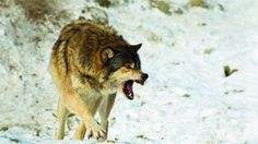 Do non-lethal control methods reduce wolf depredation? Ranchers say no | Pasture Range content from BEEF Magazine