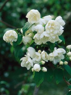 Mock Orange - Use as a large background shrub. Powerfully fragrant, the mock orange has pure-white double flowers that appear on this dark-green deciduous shrub in early or midsummer. White Flowers, Beautiful Flowers, Single Flowers, Exotic Flowers, Orange Flowers, Yellow Roses, Pink Roses, Types Of Shrubs, Garden Shrubs