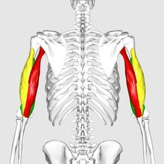 The long head originates on the shoulder blade (scapula) and the lateral and medial head start on the humerus (bone of the upper arm). All three of them come together to a single tendon and insert (attach) on the ulna.