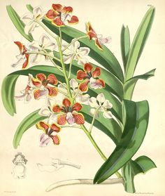 Vanda limbata is a species of orchid native to Java, the Lesser Sunda Islands and the Philippines.