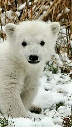 49 Ideas Baby Animals Pictures Polar Bears For 2019 Nature Animals, Animals And Pets, Wild Animals, Wildlife Nature, Cute Baby Animals, Funny Animals, Baby Polar Bears, Polar Cub, Polar Bear Face