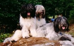 schapendoes dog photo | Schapendoes Dog Breed