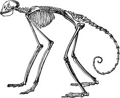 Beleebuth Monkey Skeleton