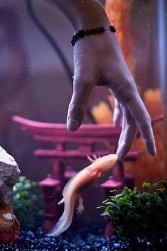 D - photograph of Axolotl C - captures swimming movement Cute Creatures, Beautiful Creatures, Animals Beautiful, Animals And Pets, Baby Animals, Cute Animals, Axolotl Care, Reptile Room, Mundo Animal