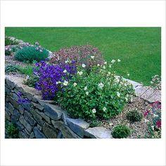 alpine garden in raised gravel bed in dry stone wall