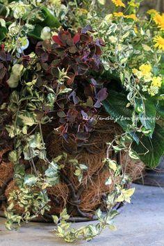 フローラのガーデニング・園芸作業日記-ダールベルグデージー 寄せ植え