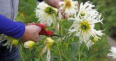 Wenn die ersten Blüten der Dahlien welken, sollte man sie gleich abschneiden, um Platz für neue Blütenstiele zu schaffen. Mit der richtigen