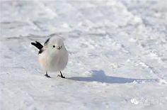 little shima-enaga in the snow